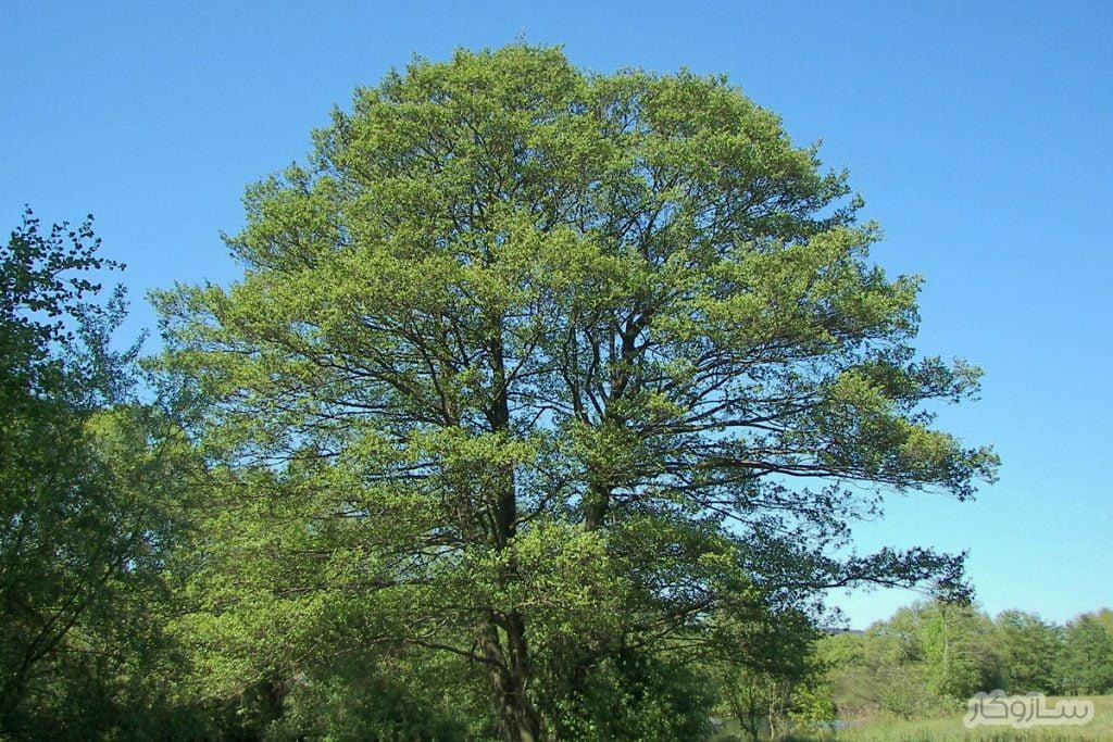 درخت توسکای سیاه