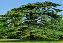 درخت سدار