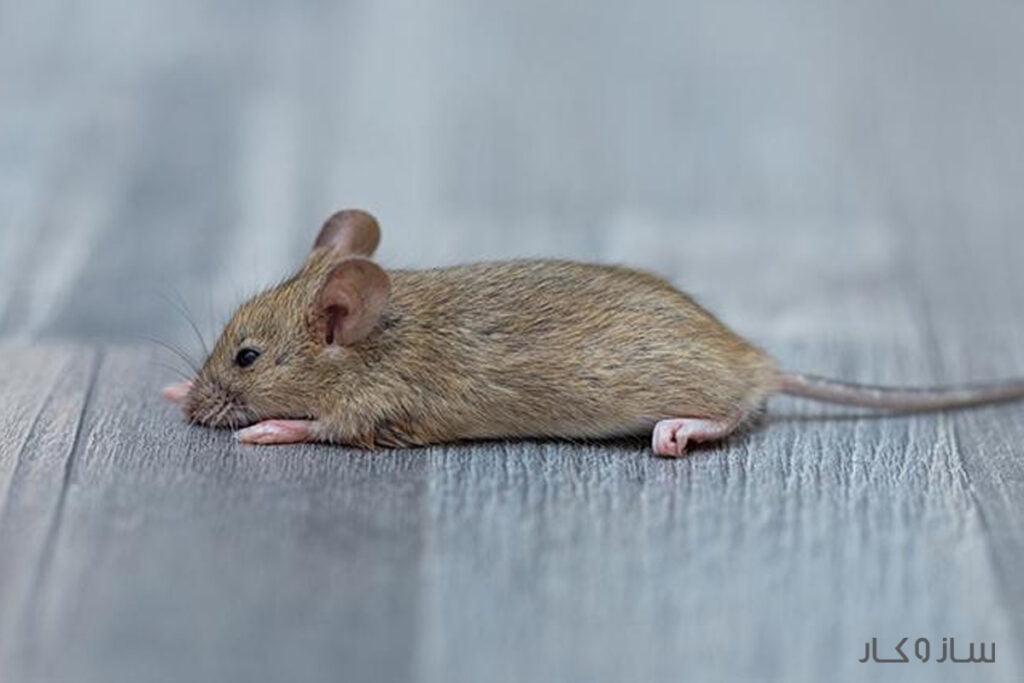 چسب موش